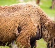 在一头骆驼的老羊毛作为背景 图库摄影