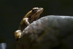 在一黑backround的小欧洲青蛙 免版税图库摄影