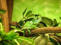 在一branc的绿蜥蜴有绿色自然背景 图库摄影