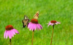 在一coneflower的两只不同蝴蝶 库存照片