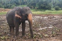 在一orphenage的大象在斯里兰卡 免版税库存图片