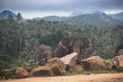 在一orphenage的大象在斯里兰卡 库存照片