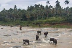 在一orphenage的大象在斯里兰卡 免版税图库摄影
