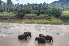 在一orphenage的大象在斯里兰卡 免版税库存照片