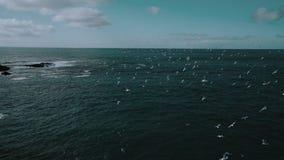 在一seashor与峭壁和雪的海鸥在冰岛 股票录像