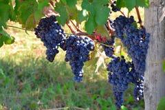 在一vinyard的蓝色/红色/黑色葡萄在意大利 图库摄影