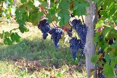 在一vinyard的蓝色/红色/黑色葡萄在意大利 免版税图库摄影