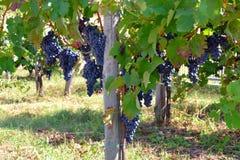 在一vinyard的蓝色/红色/黑色葡萄在意大利 免版税库存照片
