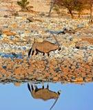 在一waterhole旁边的被隔绝的大羚羊羚羊属与好反射 库存照片