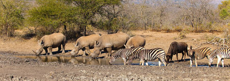 在一waterhole的动物在南非 库存图片