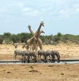 在一waterhole的动物在埃托沙国家公园,纳米比亚 库存照片