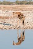 在一waterhole的纳米比亚长颈鹿与可看见的反射 库存图片