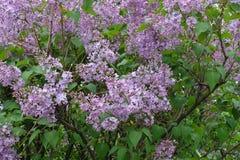 在丁香leafage的小花在春天 图库摄影