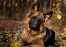在七个月的年龄的森林里的德国牧羊犬狗小辈小狗 免版税库存照片