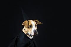 在万圣夜服装的狗 库存图片