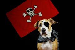 在万圣夜海盗服装的狗 免版税库存照片