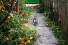 在万寿菊中的猫 图库摄影