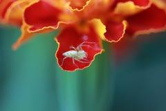 在万寿菊叶子的蜘蛛 库存照片