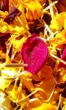 在万寿菊床上的罗斯  免版税图库摄影