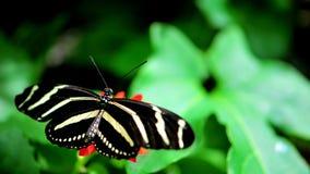 在万寿菊的斑马蝴蝶 库存图片