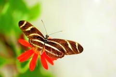 在万寿菊的斑马蝴蝶 库存照片