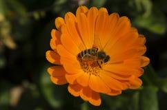 在万寿菊的蜂 库存照片