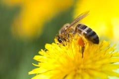 在万寿菊的蜜蜂 免版税库存照片