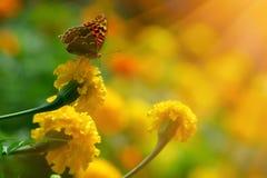 在万寿菊的黑脉金斑蝶在highkey 库存照片