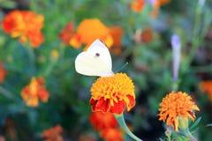 在万寿菊的蝴蝶 免版税库存照片