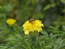 在万寿菊的Hoverfly 免版税库存照片