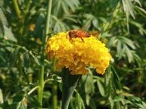 在万寿菊花的昆虫 免版税库存照片