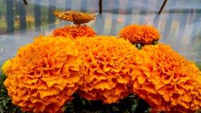 在万寿菊(sayapatri)花的美丽的蝴蝶 免版税图库摄影