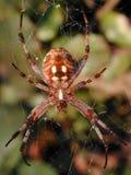 在万维网缠结的蜘蛛 免版税库存照片
