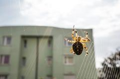 在万维网的交叉蜘蛛 免版税库存照片