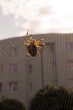 在万维网的交叉蜘蛛 库存图片