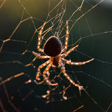 在万维网的蜘蛛 免版税库存图片