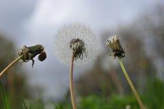 在三个阶段的干燥蒲公英花 图库摄影