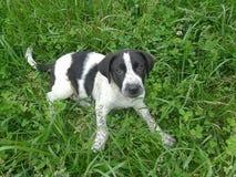 在三叶草叶子和绿草中的黑白小狗 免版税库存图片