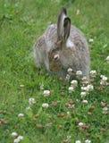 在三叶草的兔子 免版税库存照片