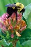 在三叶草的土蜂与露水 免版税库存照片
