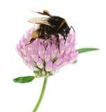 在三叶草的土蜂 免版税库存照片