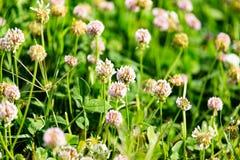 在三叶草的白花 图库摄影