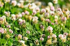 在三叶草的白花 免版税库存图片