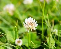 在三叶草的花在春天 库存图片