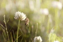 在三叶草的蜂 图库摄影