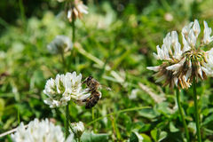 在三叶草的蜜蜂 图库摄影
