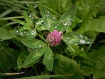 在三叶草的雨珠 库存图片