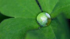 在三叶草的雨珠 免版税图库摄影