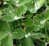 在三叶草的雨珠 免版税库存照片