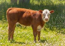 在三叶草的领域的全视图赫里福德小牛 库存照片